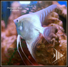 Platinum (Philippine Blue) Angelfish