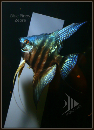 Angelmania Net The World S Largest Selection Of Angelfish