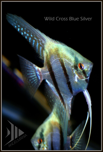 Angelmania.net - The World's Largest Selection of Angelfish