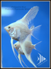 Platinum Pearlscale Widefin Angelfish