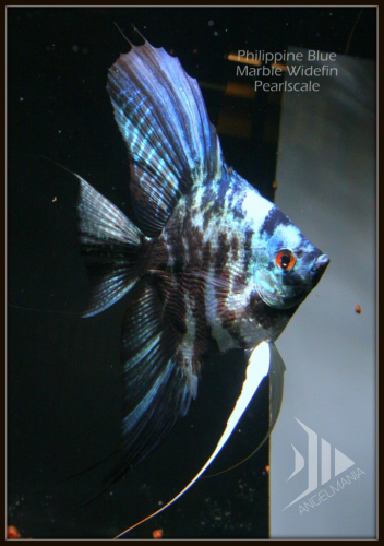 Blue Angelfish | Electric Blue Marble Pearlscale Widefin Angelfish