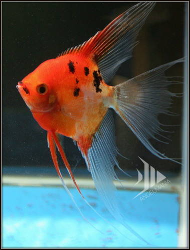 Ultimate coverage koi angelfish for Red koi fish for sale