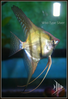 Wild-Type Full-Bar Silver Angelfish