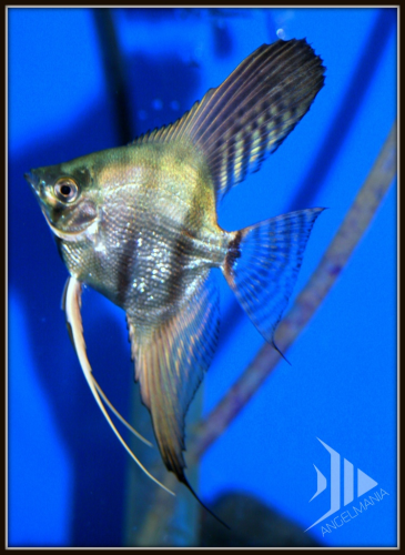 Philippine Blue Silver Pearlscale Angelfish