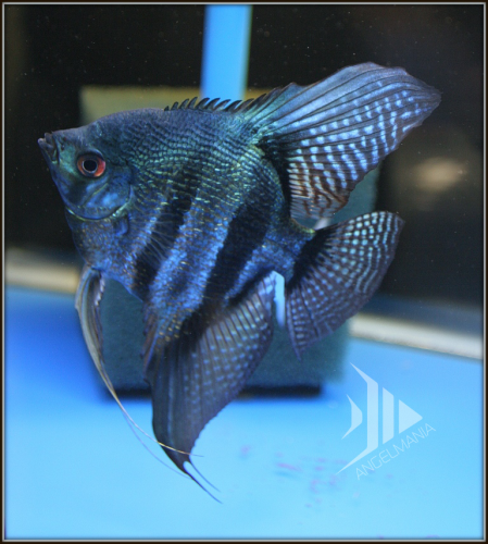 Blue Pinoy Pearlscale Widefin Angelfish