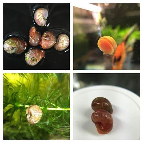 Red Ramshorn Snails - Group of 10